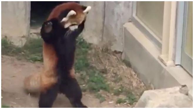 Crvena panda pokušava da uplaši kamen