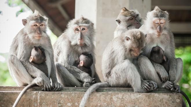 Portreti majmuna iz Svete šume majmuna, Bali, Indonezija